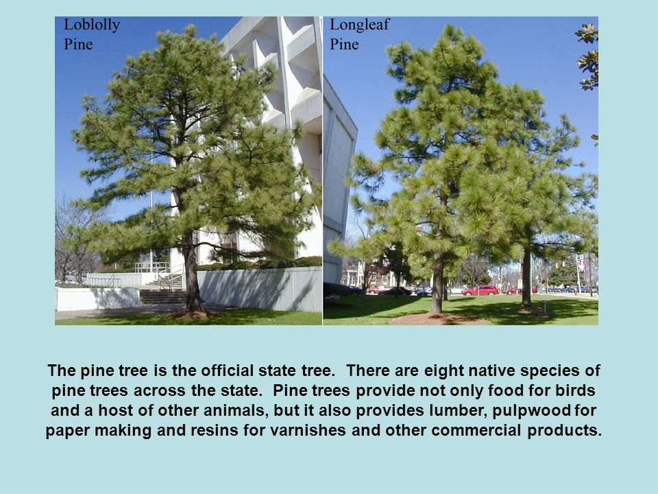 The pine tree is the official state tree