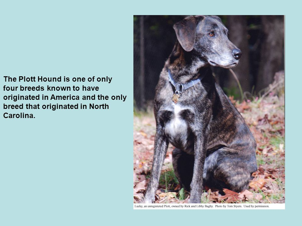 The Plott Hound is one of only four breeds known to have originated in America and the only breed that originated in North Carolina.