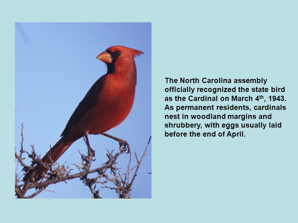 The North Carolina assembly officially recognized the state bird as the Cardinal on March 4th, 1943.