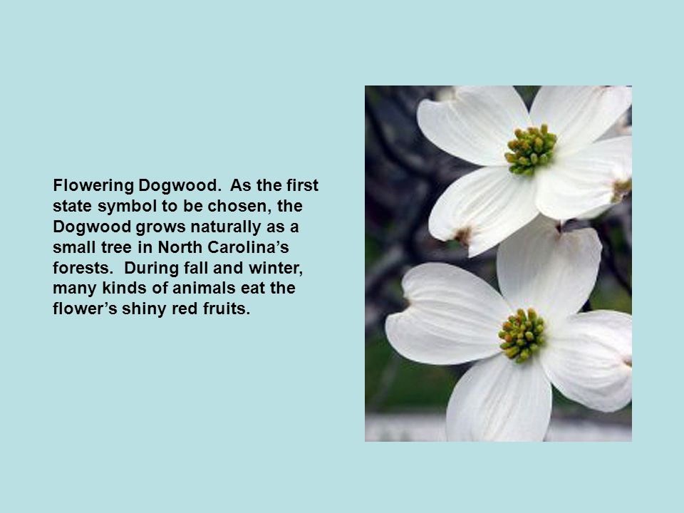 Flowering Dogwood.