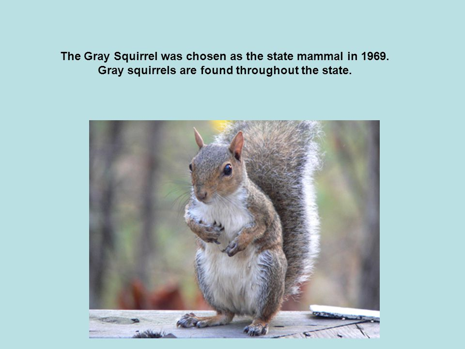 The Gray Squirrel was chosen as the state mammal in 1969