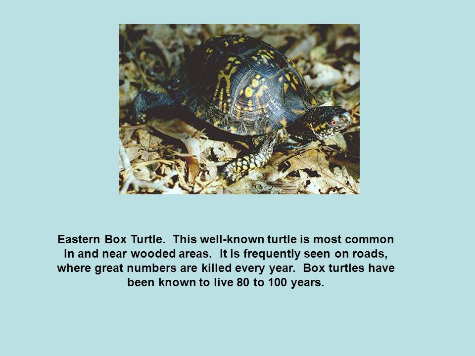 Eastern Box Turtle. This well-known turtle is most common in and near wooded areas.