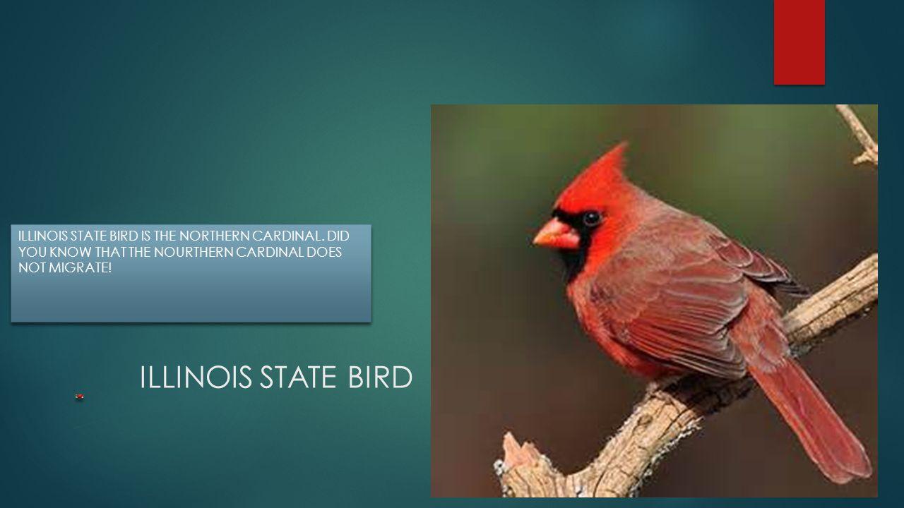 ILLINOIS STATE BIRD IS THE NORTHERN CARDINAL