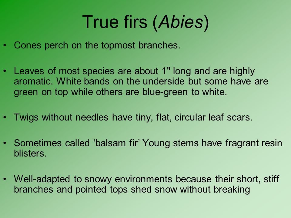 True firs (Abies) Cones perch on the topmost branches.