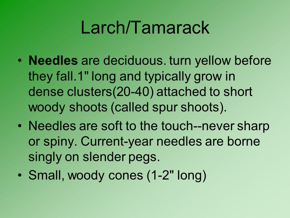 Larch/Tamarack
