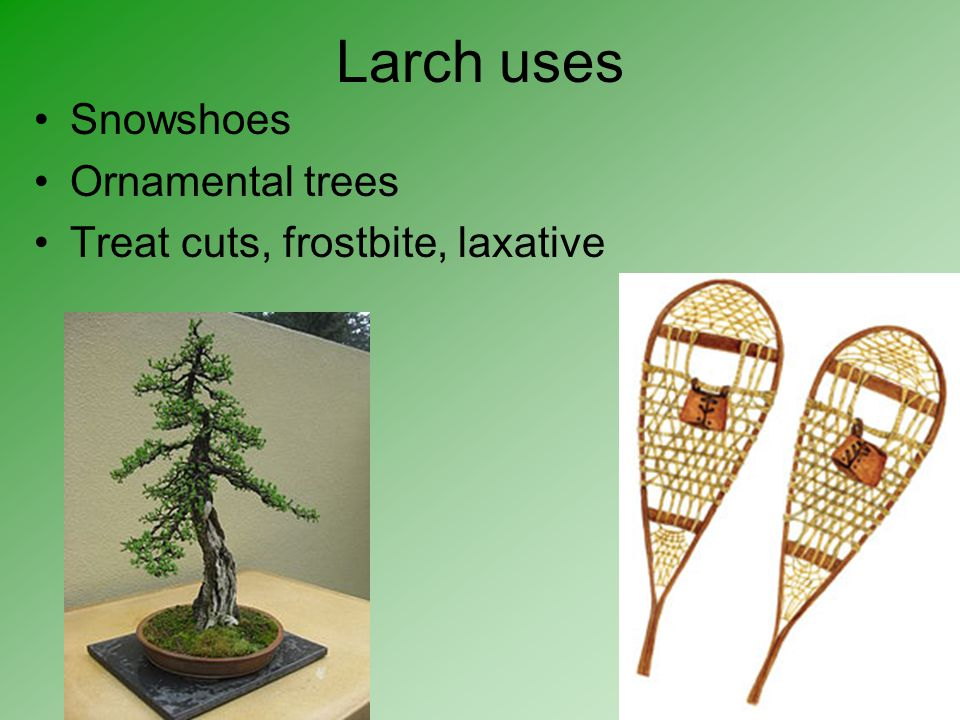 Larch uses Snowshoes Ornamental trees Treat cuts, frostbite, laxative