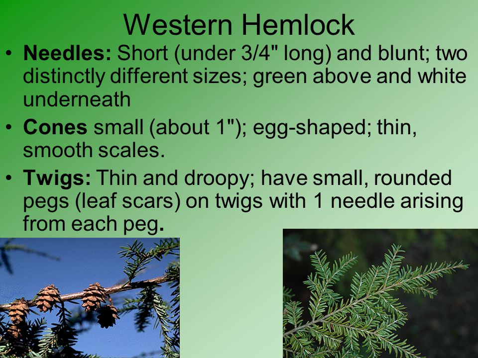 Western Hemlock Needles: Short (under 3/4 long) and blunt; two distinctly different sizes; green above and white underneath.