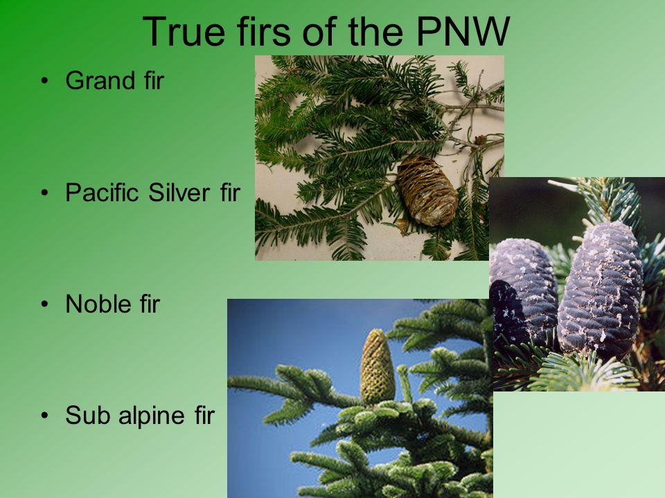 True firs of the PNW Grand fir Pacific Silver fir Noble fir