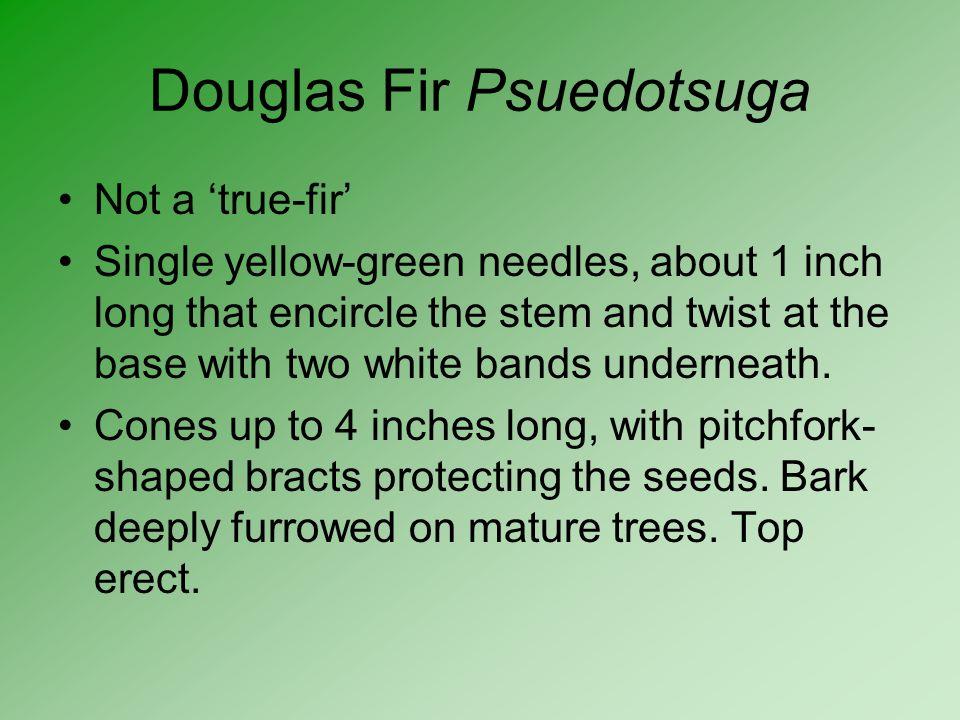 Douglas Fir Psuedotsuga