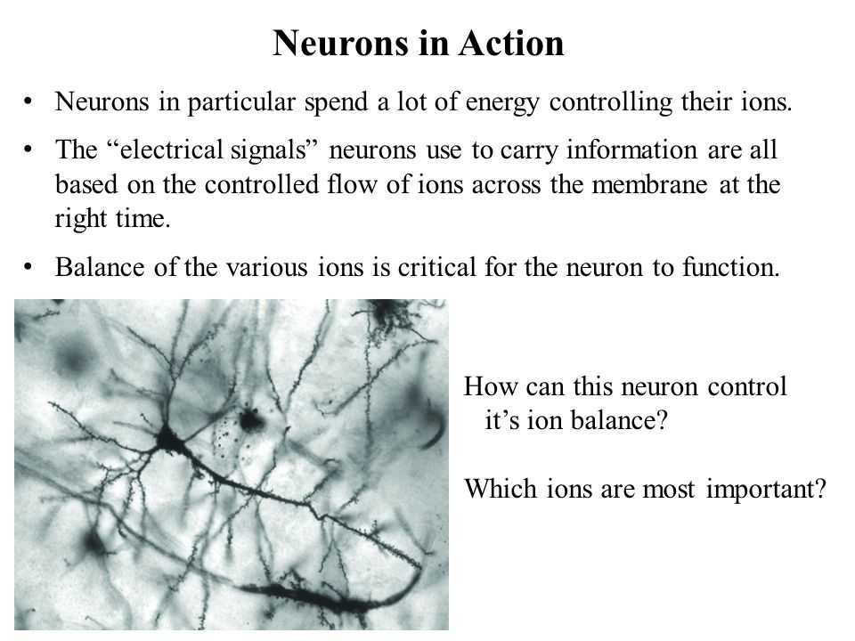 Neurons in Action Neurons in particular spend a lot of energy controlling their ions.