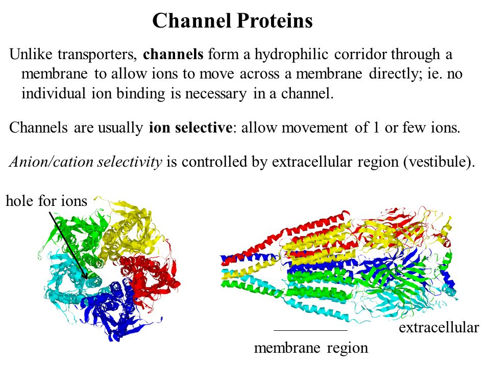 Channel Proteins Unlike transporters, channels form a hydrophilic corridor through a.