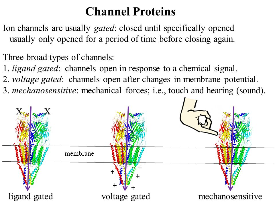 Channel Proteins Ion channels are usually gated: closed until specifically opened. usually only opened for a period of time before closing again.