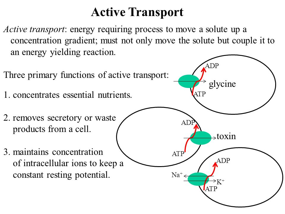 Active Transport Active transport: energy requiring process to move a solute up a.