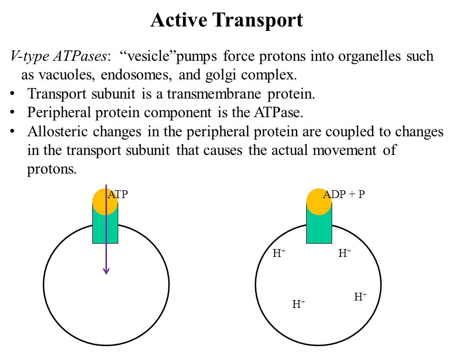 Active Transport V-type ATPases: vesicle pumps force protons into organelles such. as vacuoles, endosomes, and golgi complex.