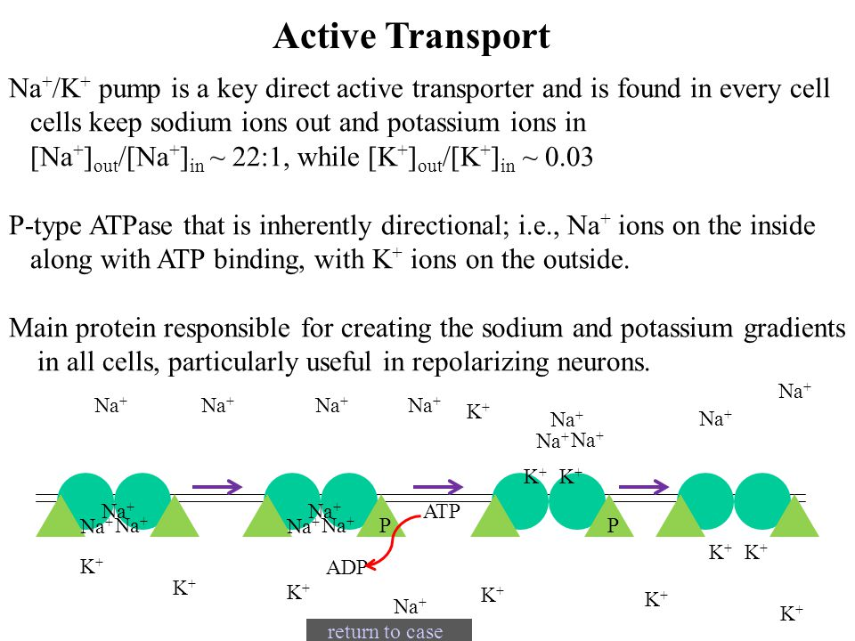 Active Transport Na+/K+ pump is a key direct active transporter and is found in every cell. cells keep sodium ions out and potassium ions in.