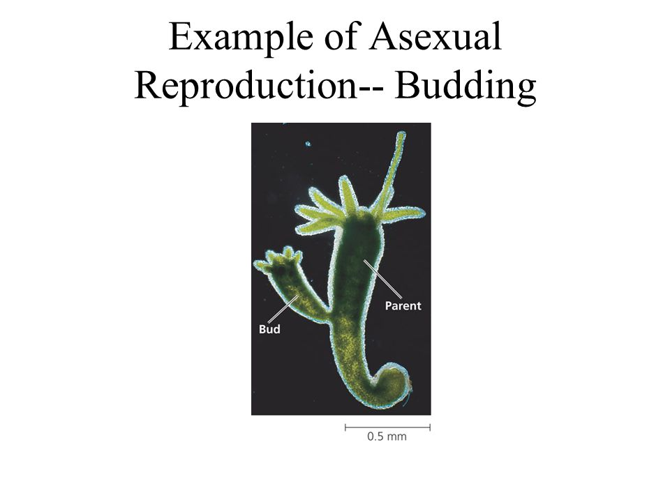 Example of Asexual Reproduction-- Budding