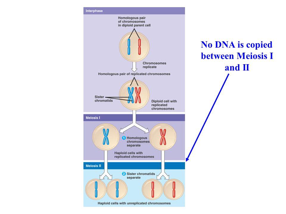 No DNA is copied between Meiosis I and II