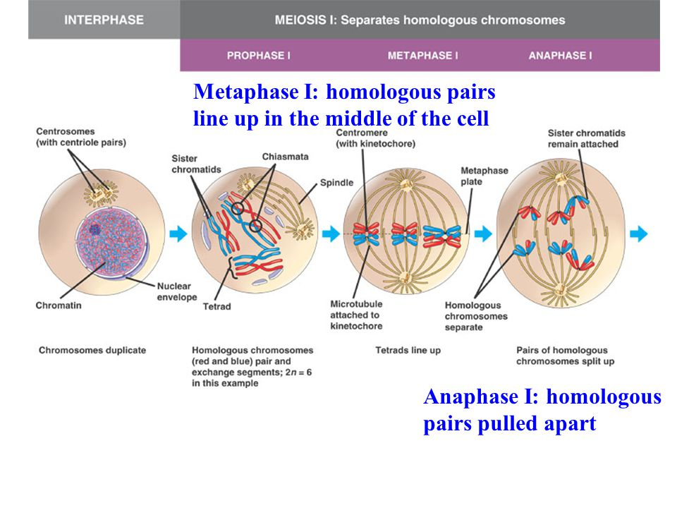Metaphase I: homologous pairs line up in the middle of the cell