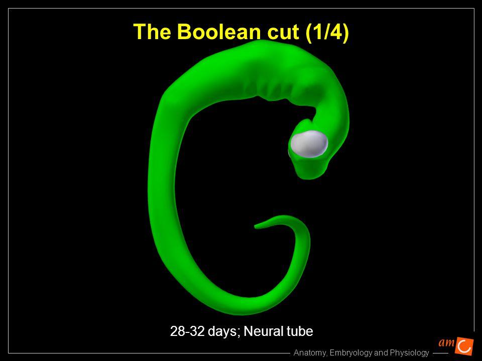 The Boolean cut (1/4) 28-32 days; Neural tube