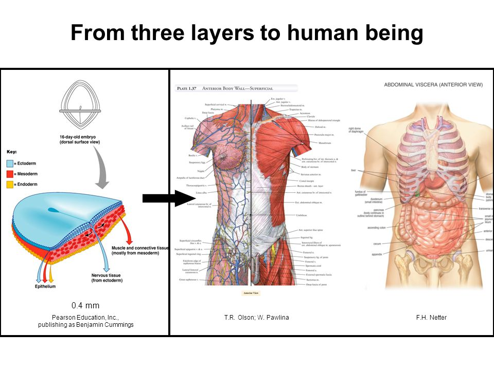 From three layers to human being