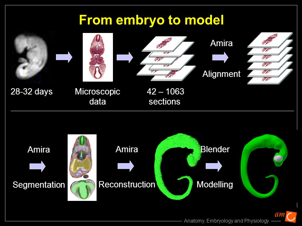 From embryo to model Amira Alignment Amira Amira Blender Segmentation