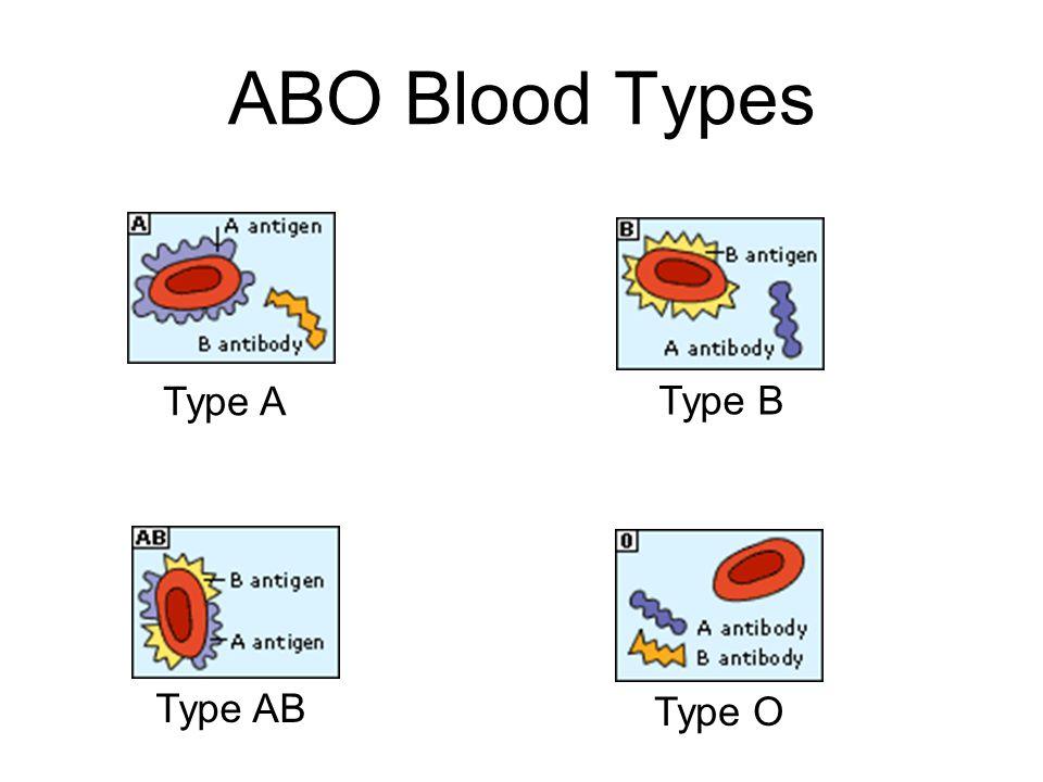 ABO Blood Types Type A Type B Type AB Type O