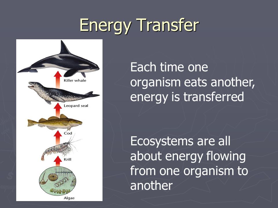 Energy Transfer Each time one organism eats another, energy is transferred.