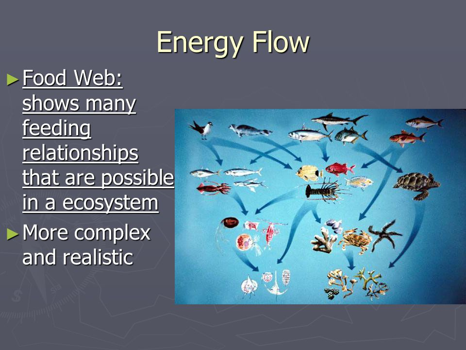Energy Flow Food Web: shows many feeding relationships that are possible in a ecosystem.