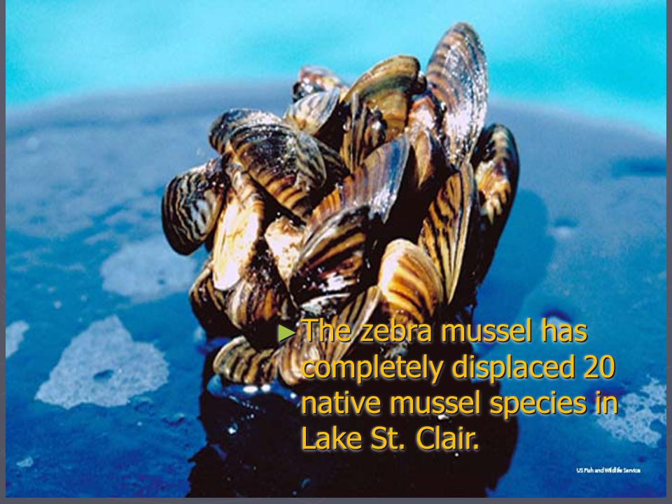 The zebra mussel has completely displaced 20 native mussel species in Lake St. Clair.