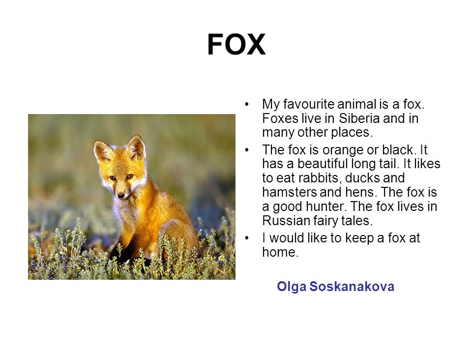 FOX My favourite animal is a fox. Foxes live in Siberia and in many other places.