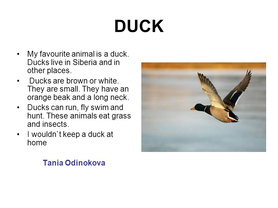 DUCK My favourite animal is a duck. Ducks live in Siberia and in other places.