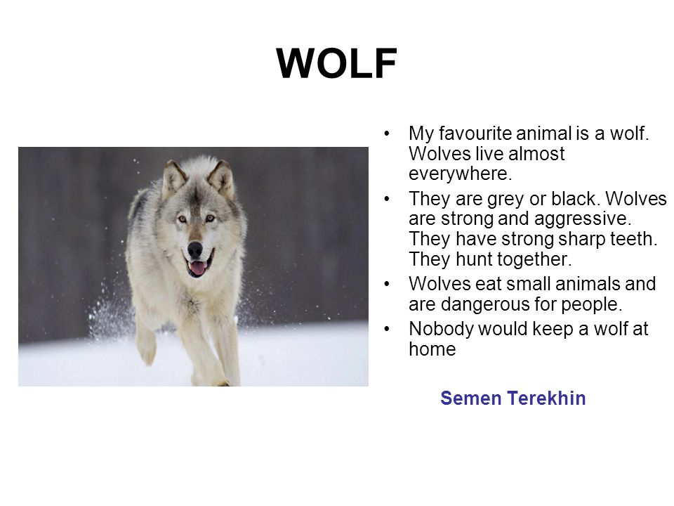 WOLF My favourite animal is a wolf. Wolves live almost everywhere.