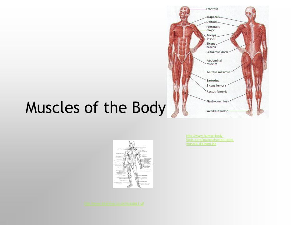 Muscles of the Body http://www.human-body-facts.com/images/human-body-muscle-diagram.jpg.
