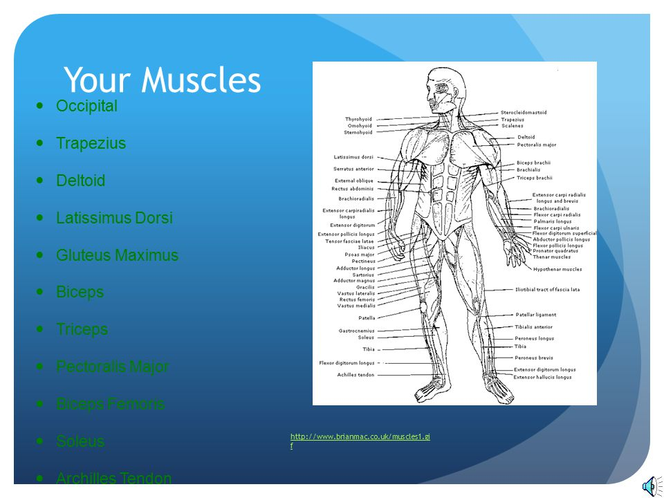 Your Muscles Occipital Trapezius Deltoid Latissimus Dorsi