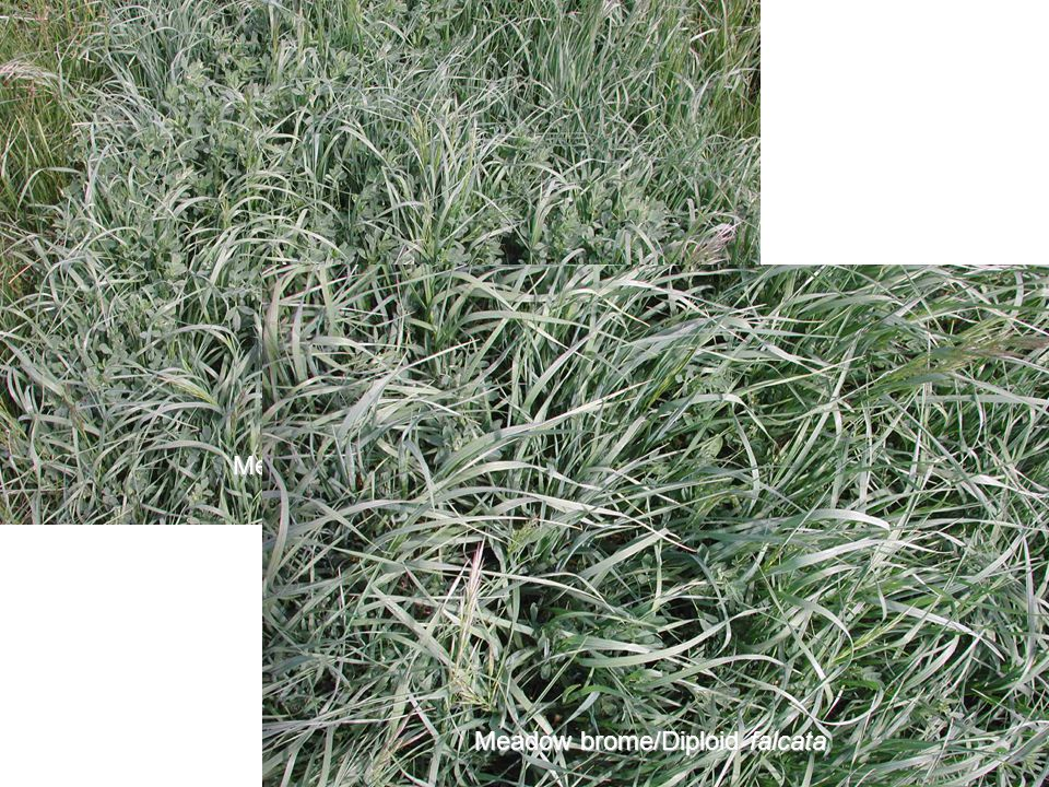 Meadow brome/Ladak Meadow brome/Diploid falcata Meadow brome/Diploid falcata