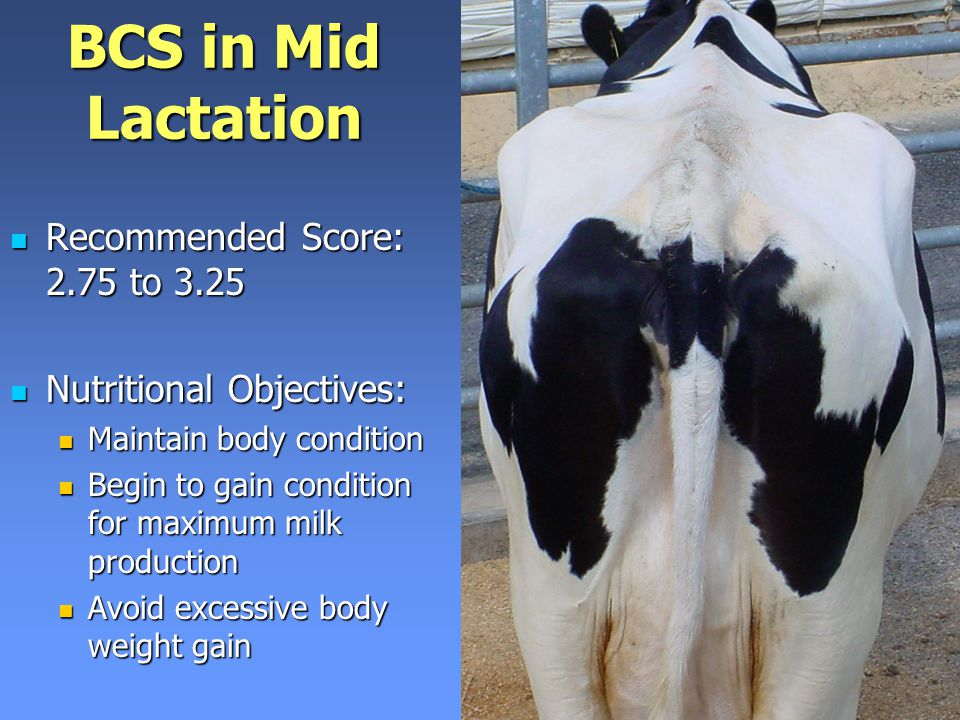 BCS in Mid Lactation Recommended Score: 2.75 to 3.25