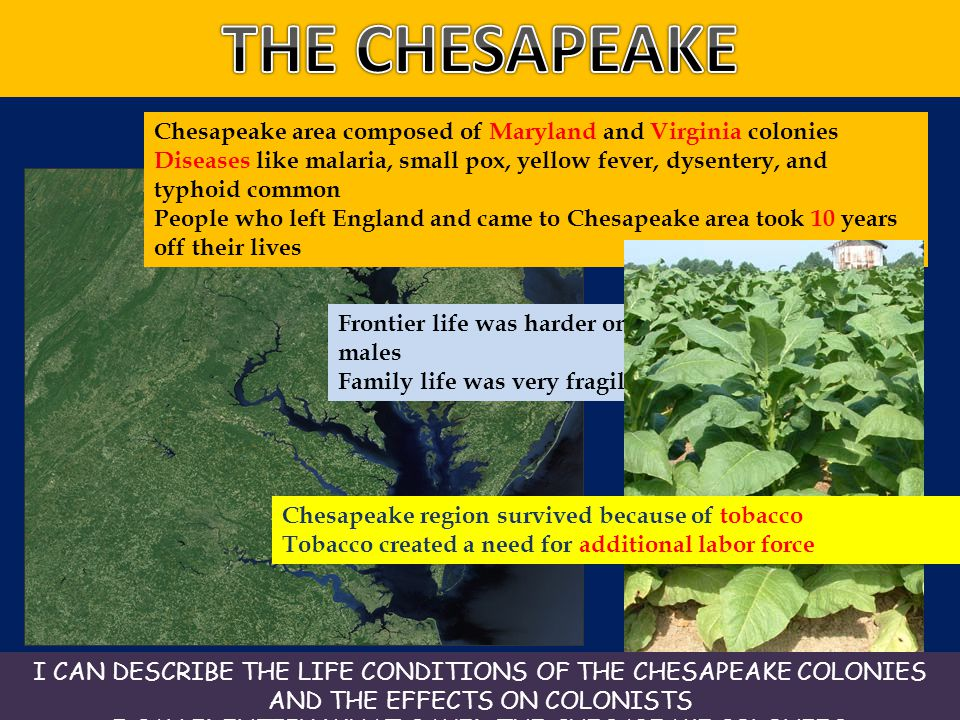 I CAN IDENTIFY WHAT SAVED THE CHESAPEAKE COLONIES