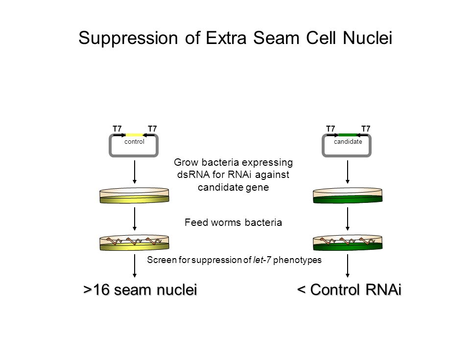Suppression of Extra Seam Cell Nuclei