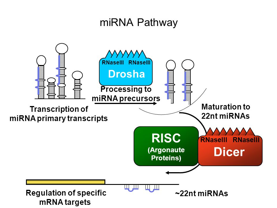 Regulation of specific miRNA primary transcripts