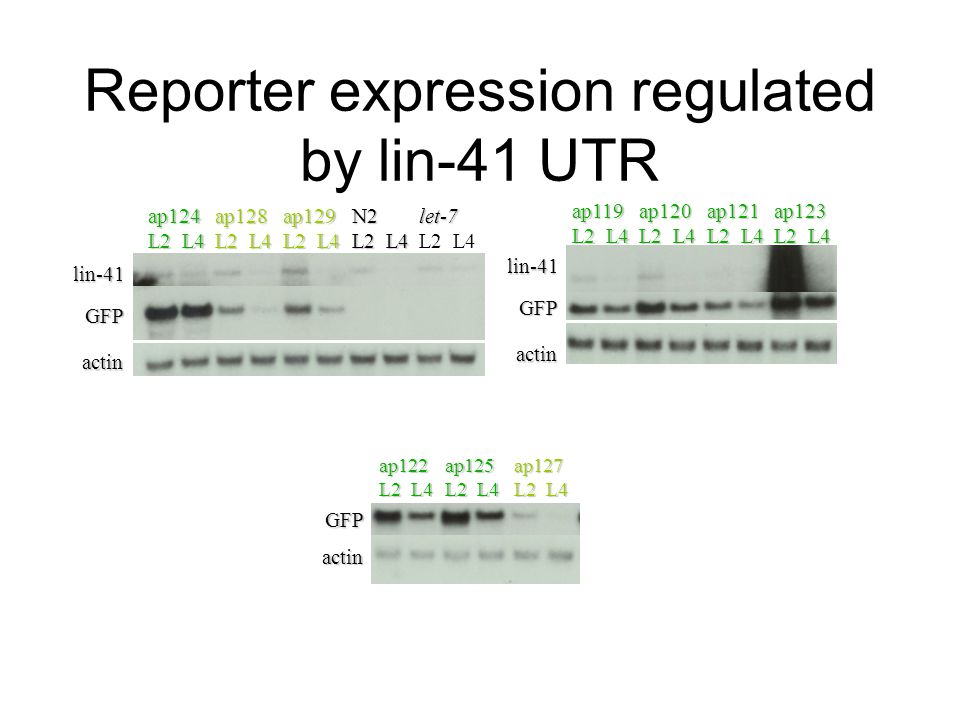 Reporter expression regulated by lin-41 UTR