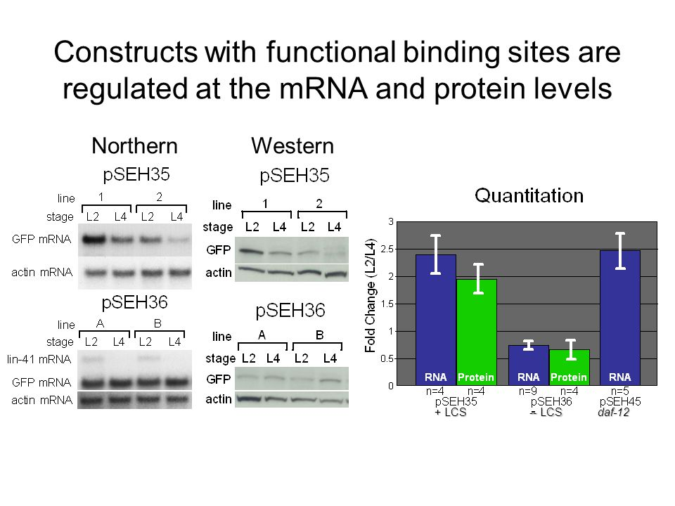 Constructs with functional binding sites are regulated at the mRNA and protein levels