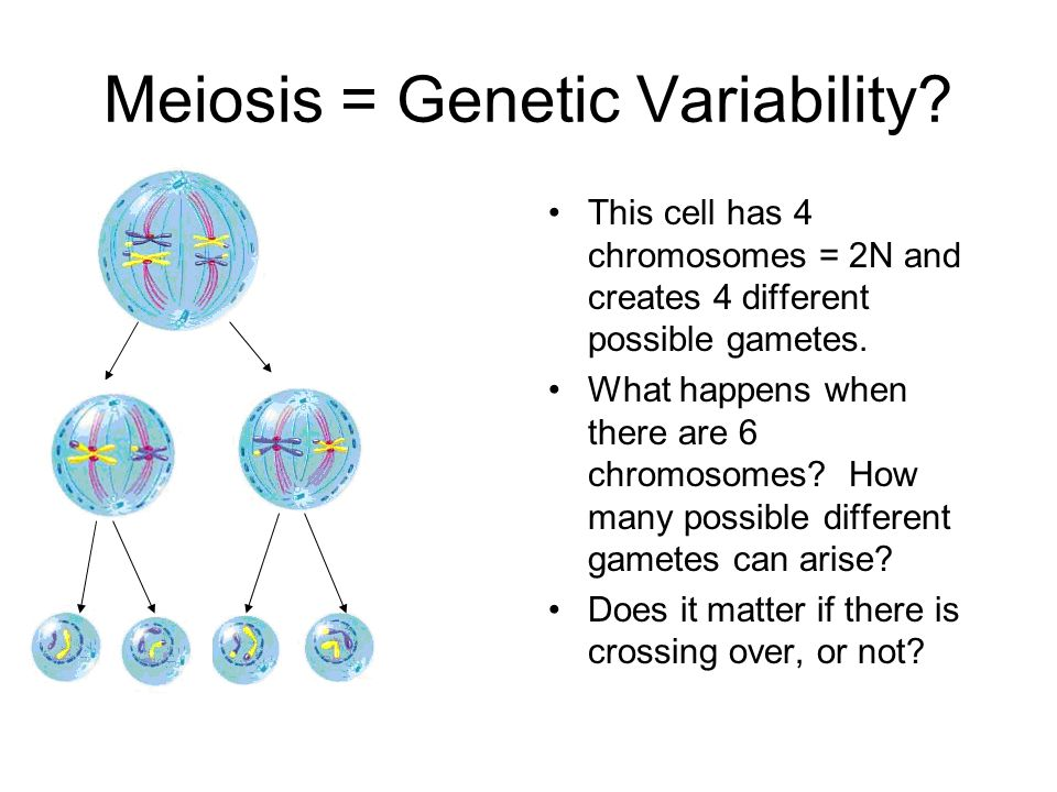 Meiosis = Genetic Variability