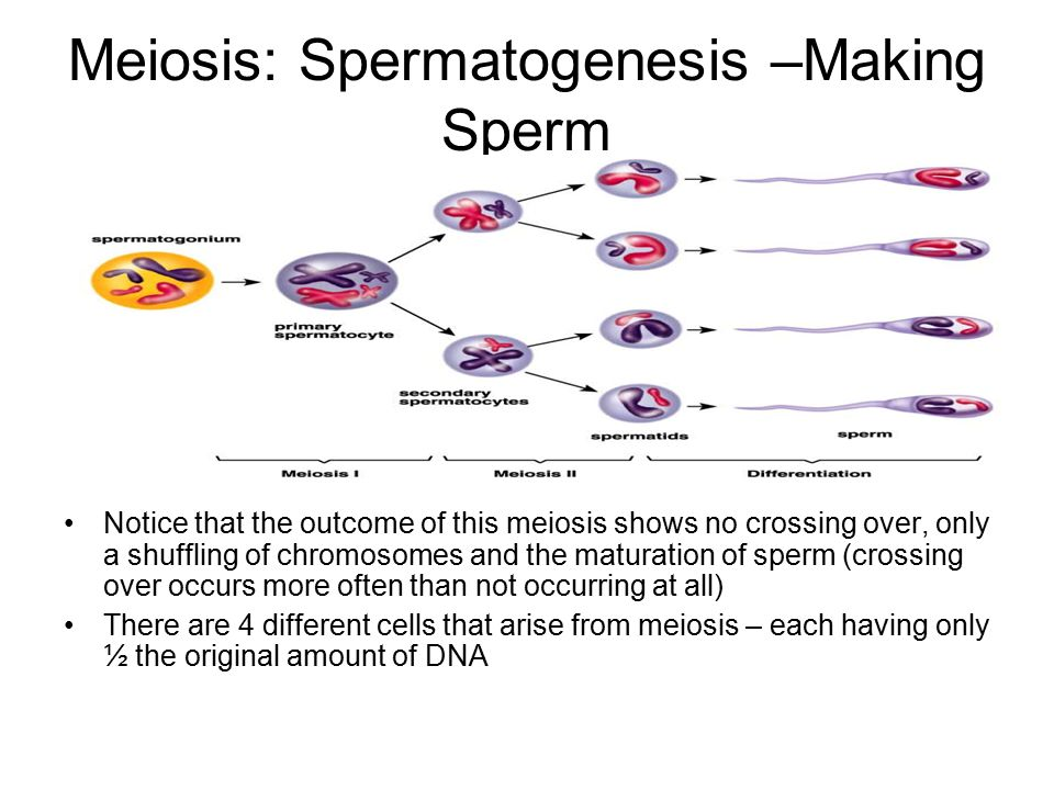 Meiosis: Spermatogenesis –Making Sperm