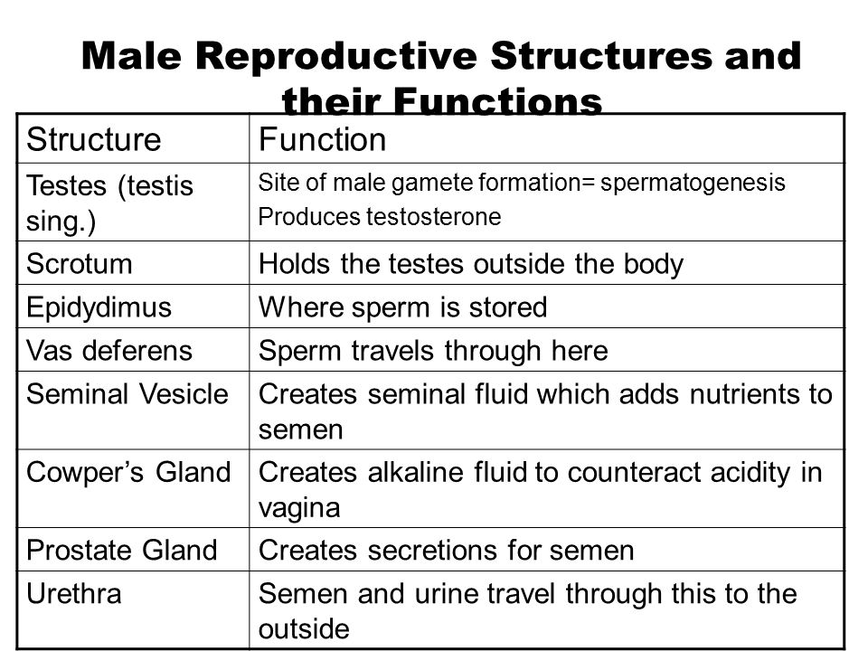 Male Reproductive Structures and their Functions