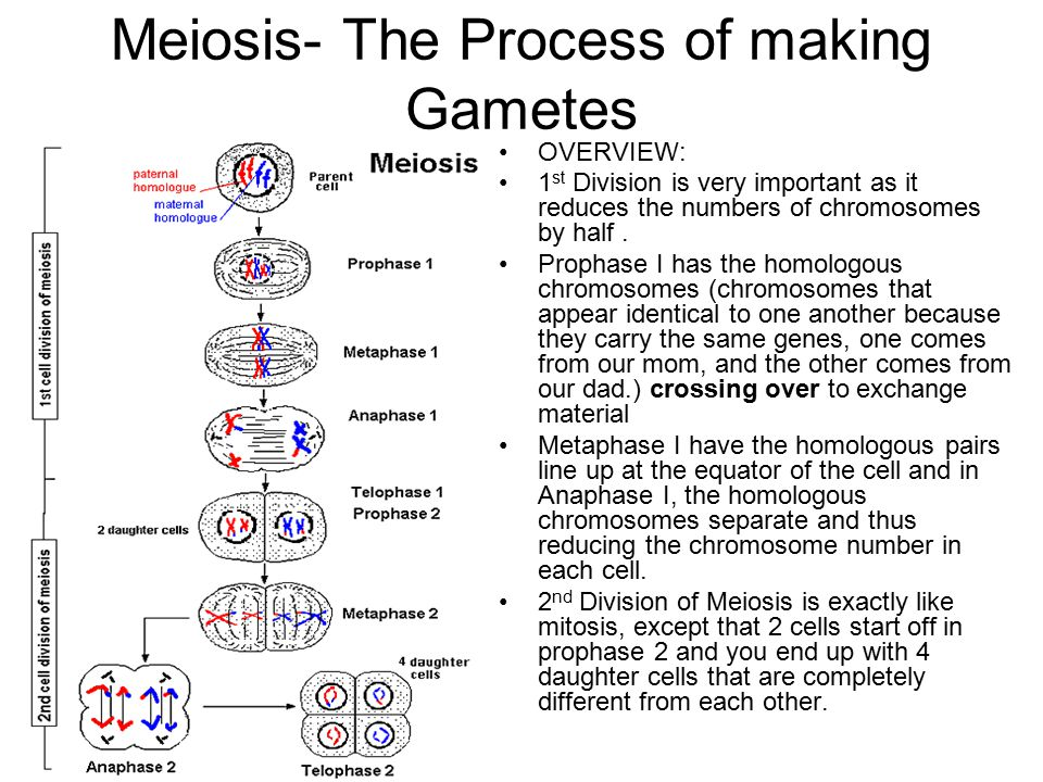 Meiosis- The Process of making Gametes