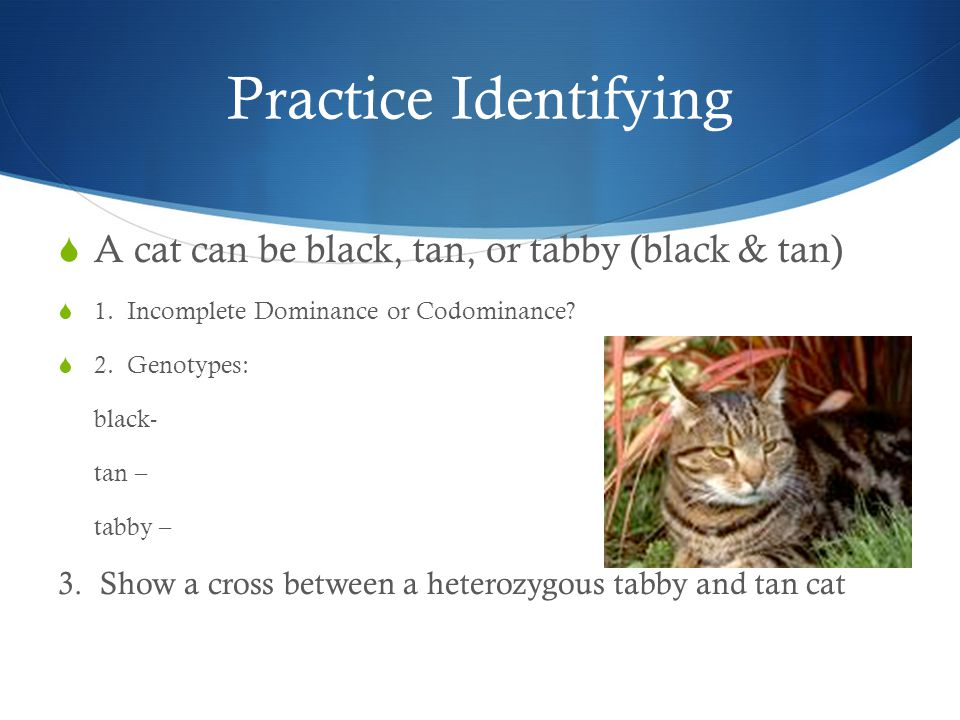 Practice Identifying A cat can be black, tan, or tabby (black & tan)