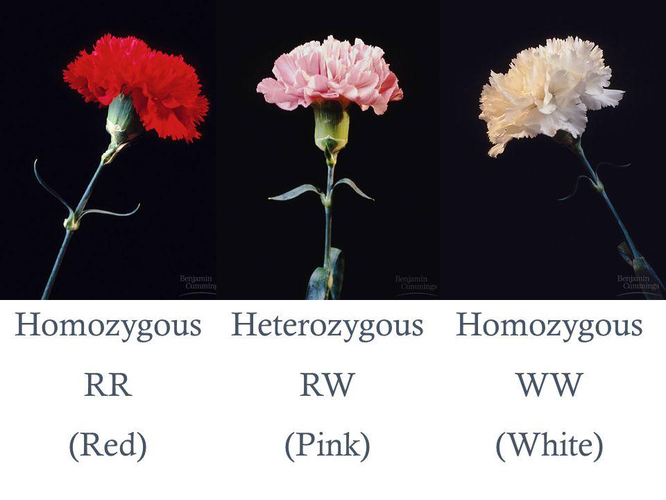Homozygous RR (Red) Heterozygous RW (Pink) Homozygous WW (White)