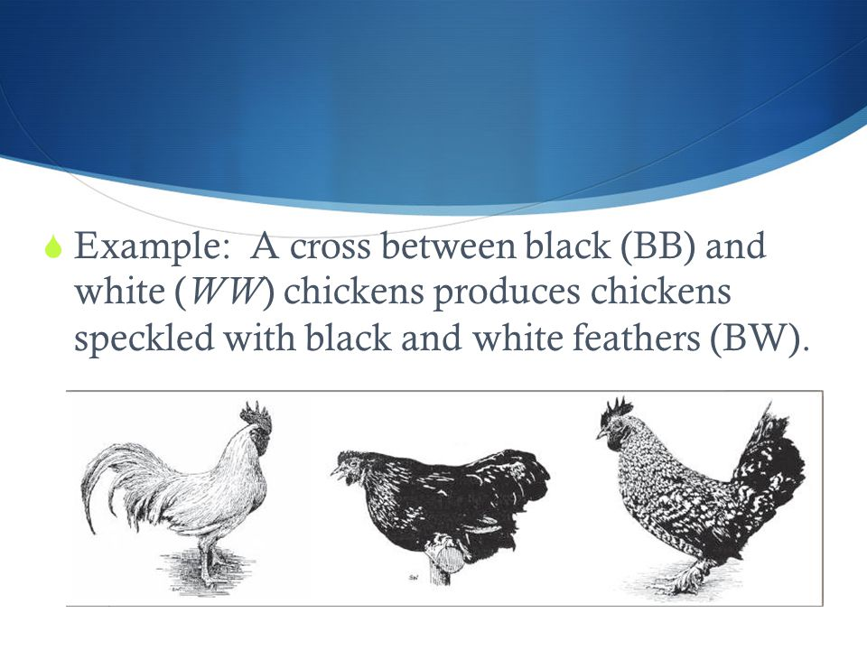 Example: A cross between black (BB) and white (WW) chickens produces chickens speckled with black and white feathers (BW).