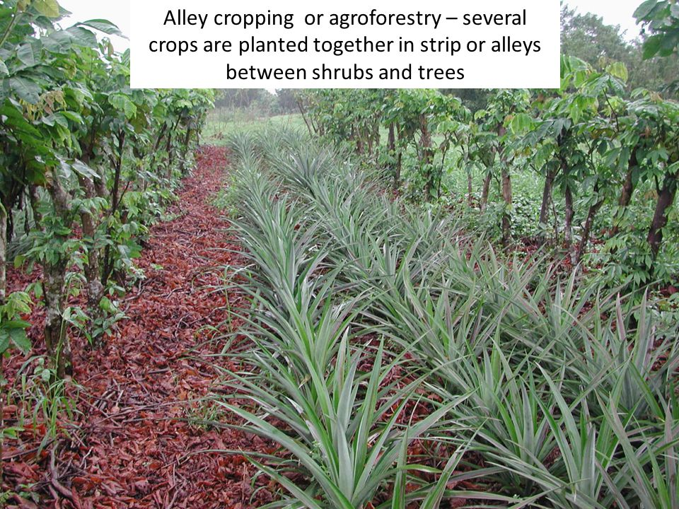 Alley cropping or agroforestry – several crops are planted together in strip or alleys between shrubs and trees