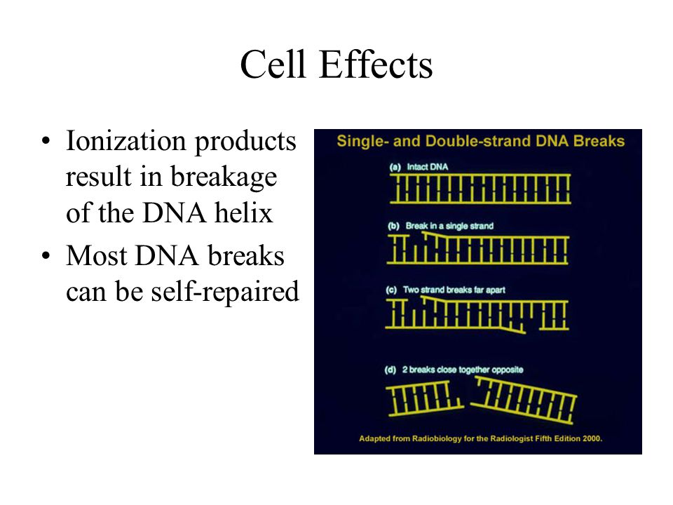 Cell Effects Ionization products result in breakage of the DNA helix